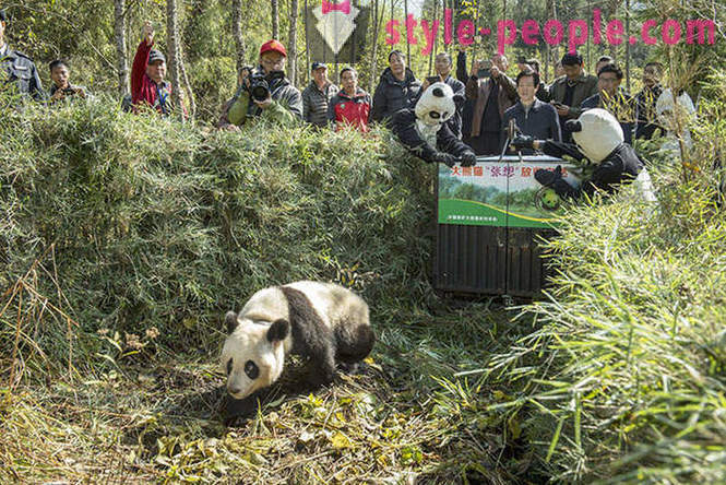 How to grow giant pandas in Sichuan