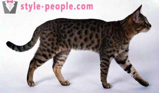 10 of the most rare and expensive breeds of cats